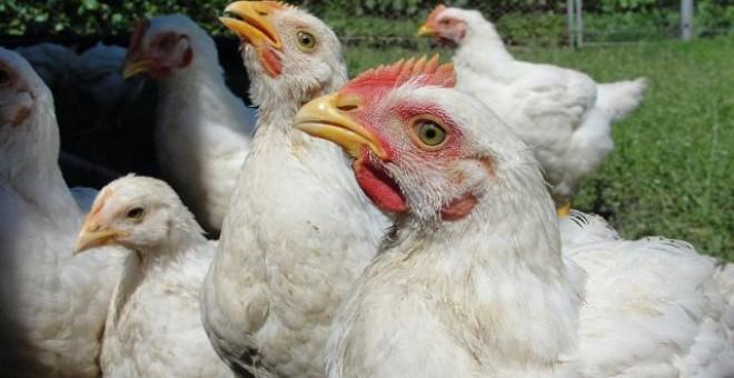 Ucraina interzice importul de carne de pui din Prahova, din cauza gripei aviare