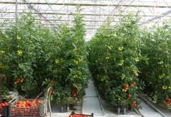 Producătorii agricoli ar putea primi un sprijin de 3.000 de euro/an pentru a cultiva tomate în sere şi solarii
