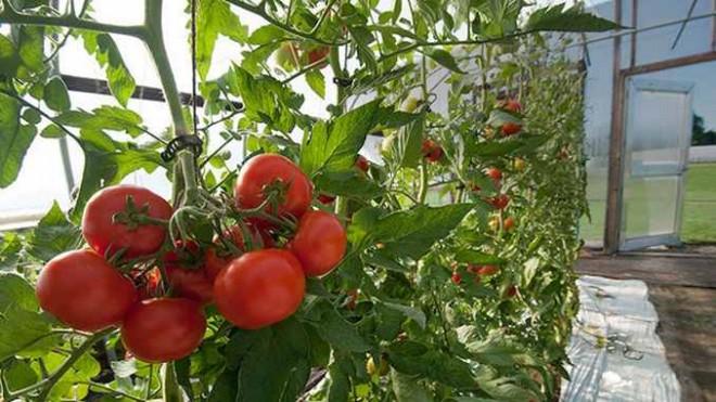 Prahova, în topul cererilor de înscriere în programul de sprijin pentru tomate