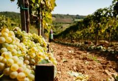 10 motive pentru a-ți face vin de casă cu must de la Jidvei