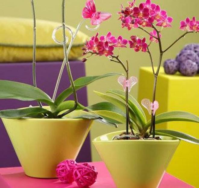 Cum se plantează orhideea în ghiveci