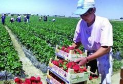 AJOFM cauta 800 de prahoveni interesati: Locuri de muncă sezonieră în agricultură - Spania - Campania 2019