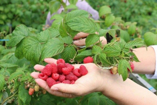 AJOFM Prahova: 300 locuri de muncă in domeniul agricol (recoltare zmeura) in Portugalia prin intermediul Reţelei EURES