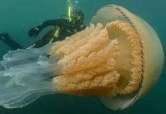 O meduză de dimensiunea unui om a fost filmata in largul coastei britanice. VIDEO FABULOS