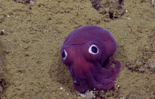Specie rară de caracatiță, de culoare mov, găsită de biologii marini