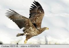 Vultur codalb, redat Deltei Dunării