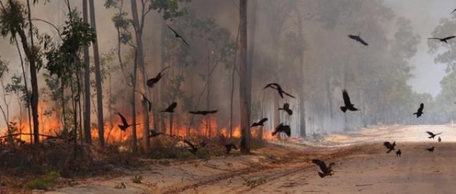 Uimitor – Aceste păsări de pradă dau foc în mod intenționat pădurilor. Unde se întâmplă acest fenomen neobișnuit?