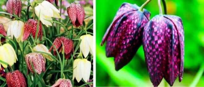 Laleaua pestriță – o minune a Naturii ce poate fi admirată și în România, odată cu venirea primăverii. Inflorescența sa prezintă un desen asemănător cu… o tablă de șah!