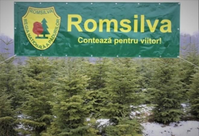 Romsilva scoate la vânzare  peste 65.000 de pomi de Crăciun, la prețuri începând de la 15 lei/ bucată