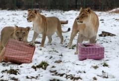 """La ZOO Bucov va fi organizat """"Craciunul animalelor"""". Copiii, asteptati sa impacheteze cadourile"""
