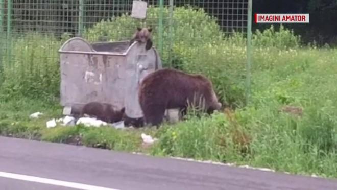 O ursoaică și puii ei au coborât printre turiștii care făceau grătare, la Bușteni