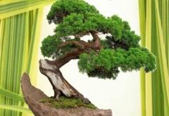 Expoziție de bonsai, începând de vineri, la Grădina Botanică de la Bucov
