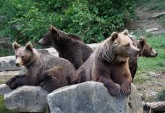 NEBUNIE în Prahova - Jandarmii au fost chemați de 9 ori în 24 de ore, prin 112, să îndepărteze urșii care au coborât în localități