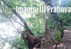 11 urşi au fost văzuţi în localităţi din Prahova, în ultima săptămână - VIDEO