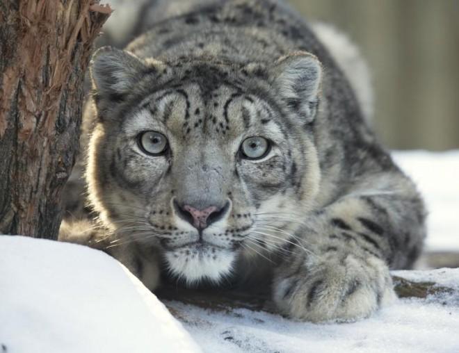 Un leopard rar si-a facut selfie-uri cu o camera lasata in munti. Cum a reusit