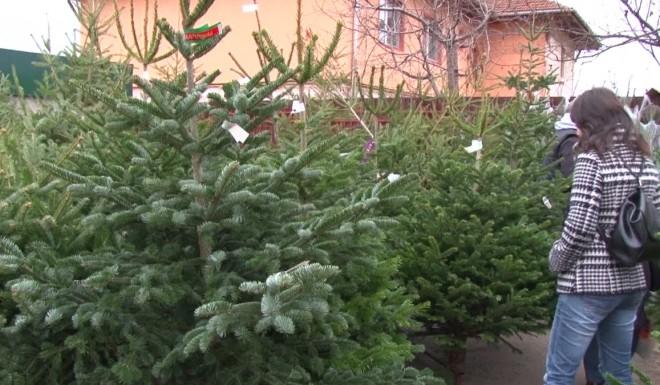 Cat costa brazii de Craciun anul acesta. Romsilva scoate la vanzare 40.000 de pomi