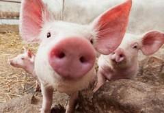 Alerta de pesta porcina in Prahova. Ploieștiul a fost inclus în zona infectată