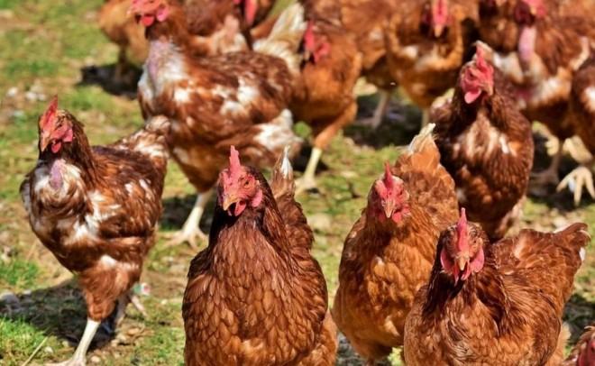 Gripa aviară a ajuns în România. Medicii veterinari avertizează că virusul se poate transmite şi la om