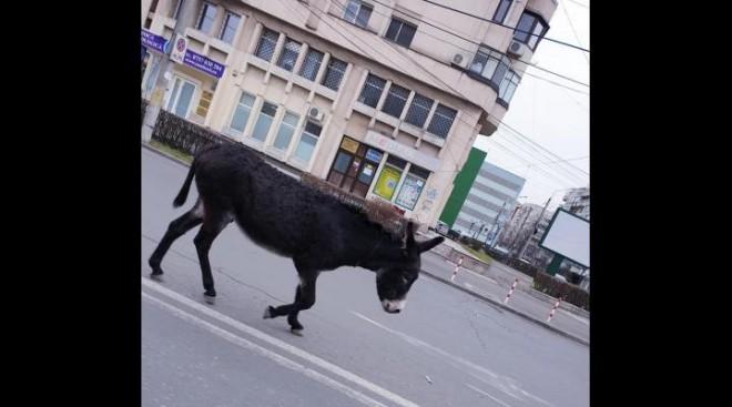 Un magarus derutat a luat-o la pas prin centrul Ploiestiului