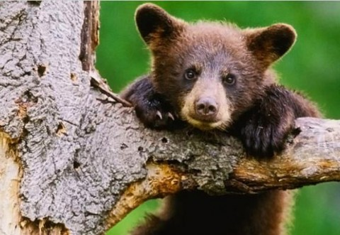 Pui de urs, împușcat la Predeal