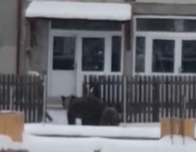 Panică în Azuga! O ursoaică cu pui au intrat în curţile oamenilor/VIDEO