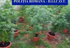 Plantatie de canabis, descoperita de DIICOT. Drogurile ajungeau la un dealer din Prahova, unde erau vandute consumatorilor