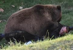 Prahova: Barbat mutilat de urs in padurea din Telega
