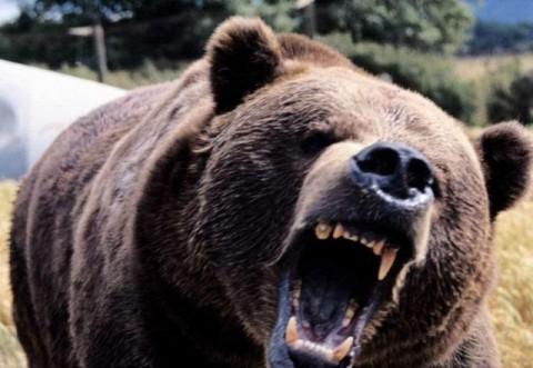 Comarnic: Un barbat a fost sfasiat de urs si scalpat, in zona Secaria. Medicii sunt rezervati
