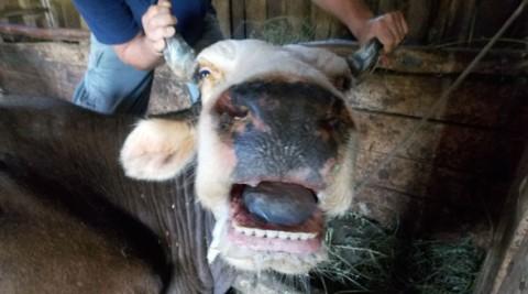 Boala limbii albastre face RAVAGII în Prahova. Peste 100 de animale au murit în ultima lună