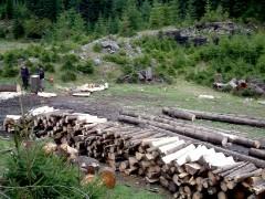 Pădurile din Filipeştii de Pădure, ciopârţite de hoţii de lemne