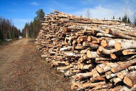 INCREDIBIL. Un minor a tăiat 80 de salcâmi dintr-o pădure prahoveană