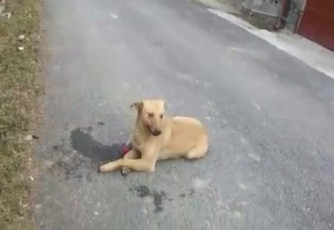 Imagini ŞOCANTE în Buşteni. Un câine tranchilizat, ABANDONAT de hingheri
