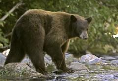Bărbat muşcat de urs în Predeal