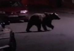 IMAGINI INCREDIBILE cu un urs care se plimbă prin Bușteni VIDEO