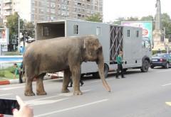 Un elefant s-a plimbat pe Bulevardul Castanilor din Ploieşti