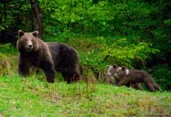 PANICA in Busteni. O ursoaica cu doi pui, surprinsi langa casele oamenilor