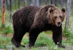 """O ursoaică de la ZOO Bucov va fi transferată la Rezervația """"Libearty"""" din Zărnești"""