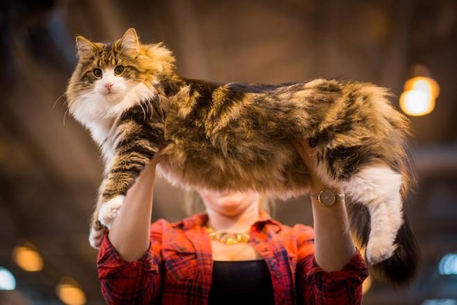 Expoziția SofistiCAT, la Romexpo. Sute de pisici din toate colţurile lumii, prezente