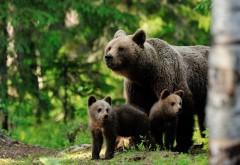 ALERTĂ! Încă o ursoaică cu pui a apărut la Cheia