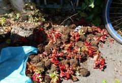 Un ploiestean a fost prins cu sacosa plina de flori furate dintr-un giratoriu! Vezi de unde luase zeci de begonii