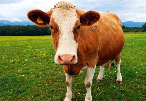 Ajutor excepțional pentru micii fermieri! Crește valoarea ajutorului pentru bovine: Aproape 300 de euro/vacă! Vezi când