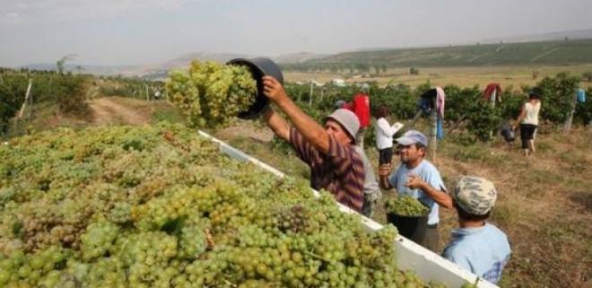 Criză de personal în viticultură. În ce oraş din Prahova se importă forță de muncă din Moldova
