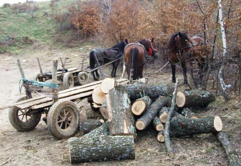 Transport ilegal de material lemnos depistat de polițiștii din Bălțești