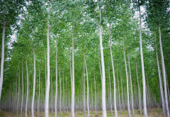 Ocolul silvic Verbila, tinta hotilor de plopi. Trei prahoveni s-au ales cu dosar penal pentru furtul a 3 copaci