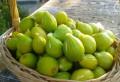 O familie din Paulesti cultiva SMOCHINE in curtea casei. Recolta ajunge pe rafturile marilor magazine
