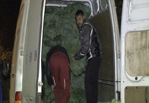 Furturi de sezon: 200 de kilograme de cetina, furate de un prahovean, din Sinaia