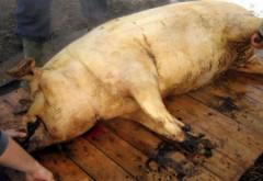 7 cazuri de trichineloza descoperite la porcii taiati in gospodarie, in acest weekend, in Prahova