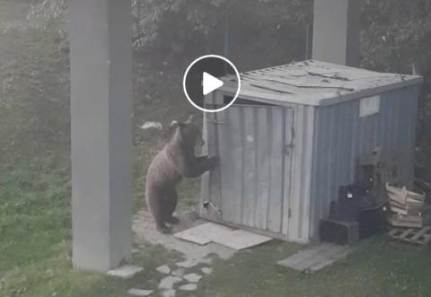 Clipe de panică la un hotel de pe Valea Prahovei! Un urs care dă atacul, filmat de turişti