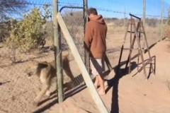 Un tânăr eliberează un LEU din cuşcă. Ce urmează este INCREDIBIL VIDEO