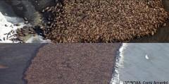 35.000 de morse au esuat pe o plaja din Alaska